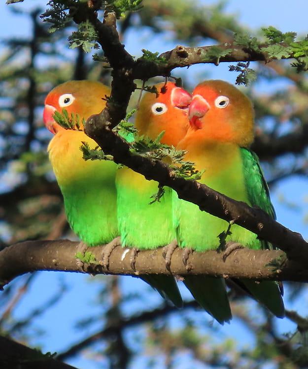 Fischer's Lovebird michael-wilcox