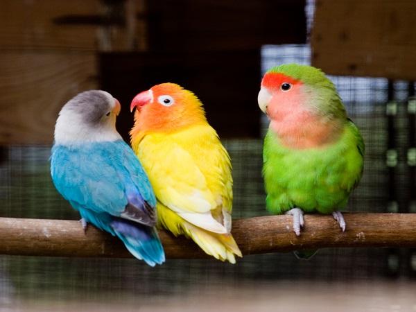 Giá vẹt Lovebird sinh sản