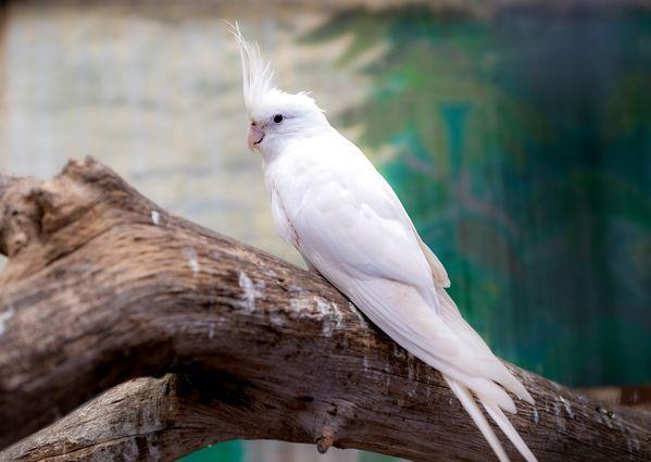 Vẹt Cockatiel Albino
