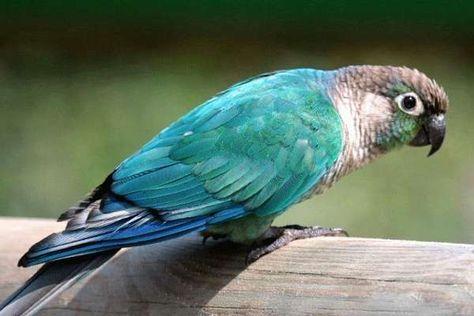 Vẹt GreenCheck Blue cực đẹp
