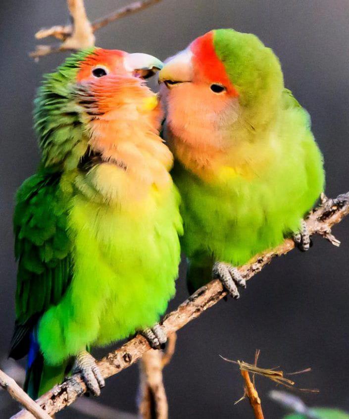Vẹt mặt đào Peach-Faced Lovebird