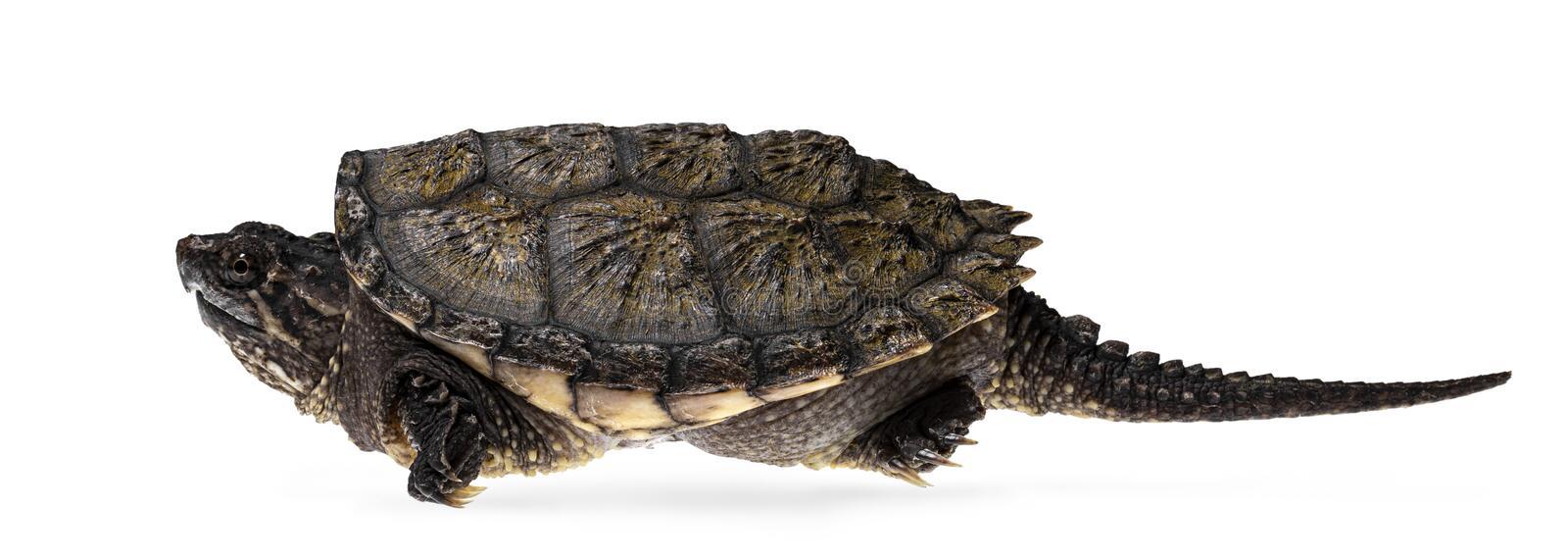 Cách nuôi rùa Common Baby