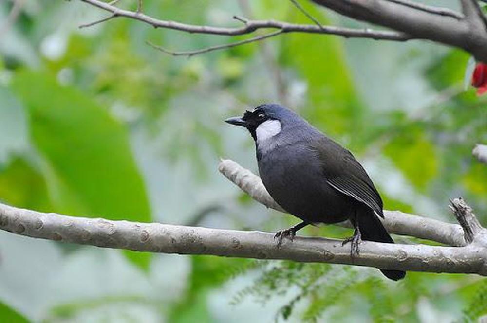 Chim khướu bạc má mái