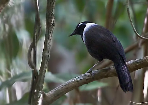 Chim khướu đầu đen