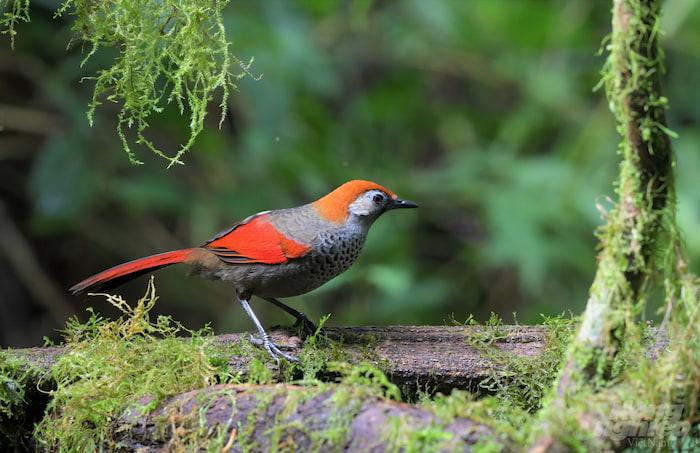 Chim khướu đuôi đỏ cánh đỏ