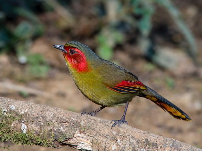 Chim khướu má đỏ