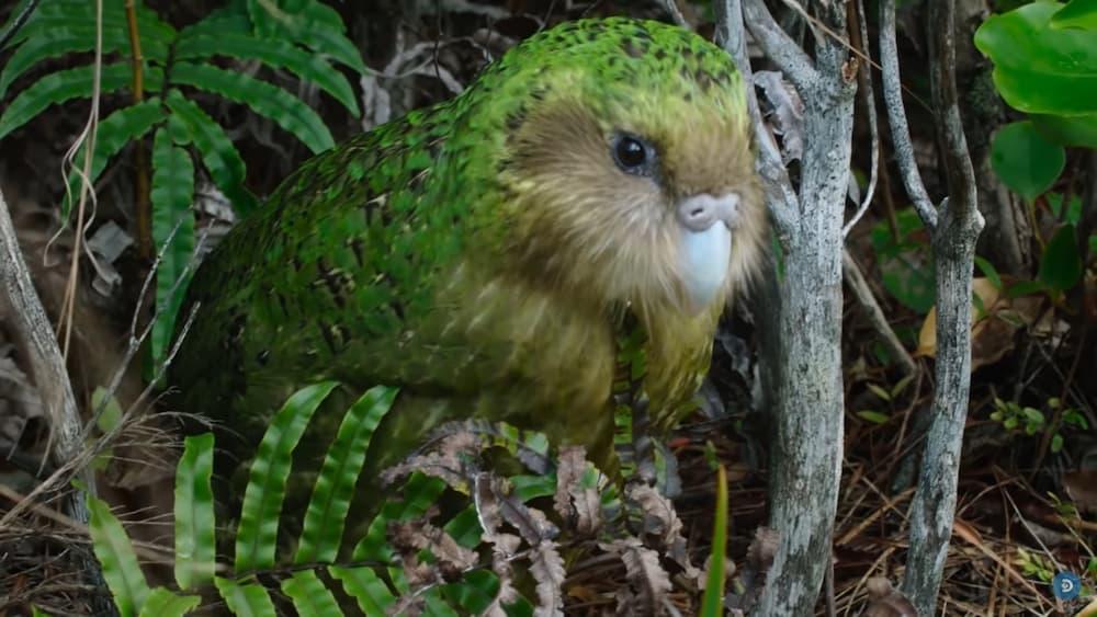 Giá bán của vẹt Kakapo