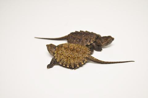 Giá rùa Common Baby là bao nhiêu