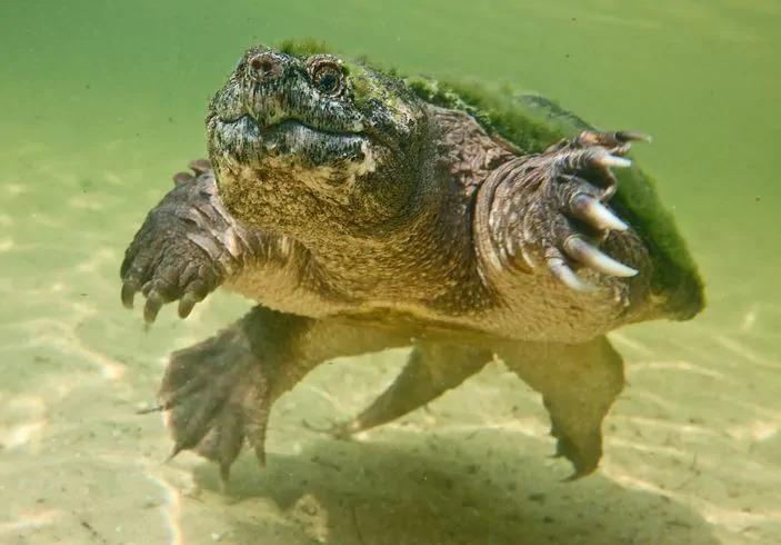 Nguồn gốc của rùa Common Snapping 1
