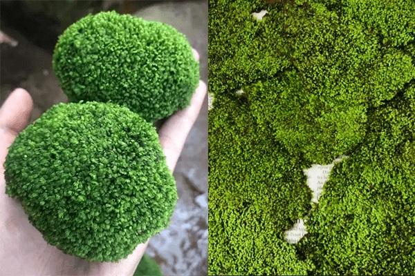Cách trồng rêu Minifiss lên đá