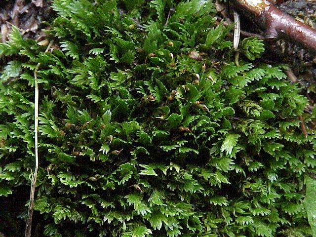 Hình ảnh rêu Minifiss