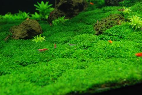 Hướng dẫn chăm sóc rêu minifiss