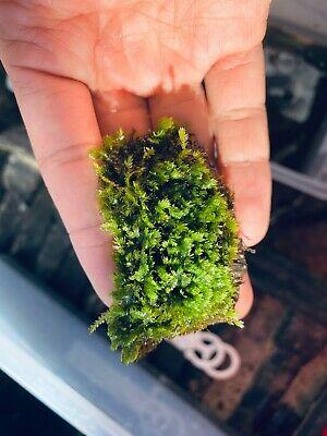 Rêu Minifiss thủy sinh