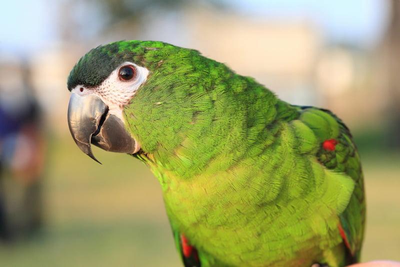 Vet-Hahn-Macaw