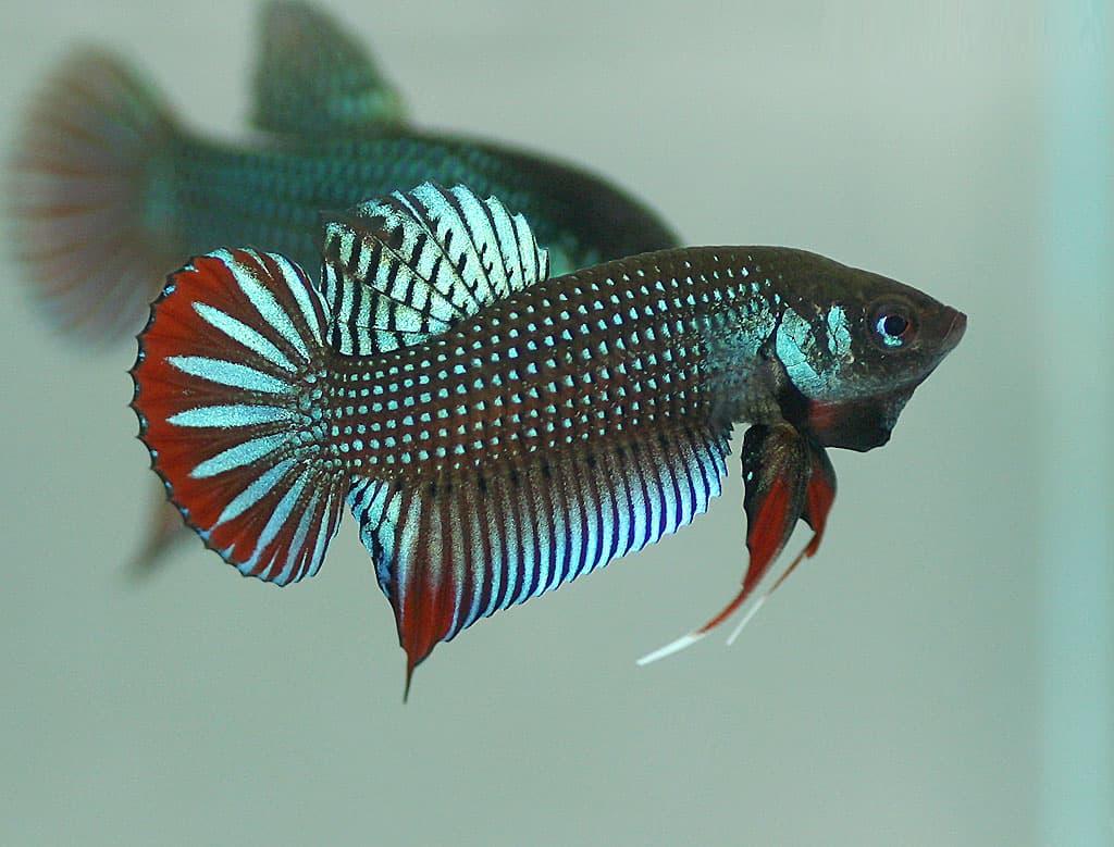 cá lia thia ruộng mang đỏ