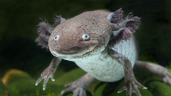 ky-nhong-axolotl