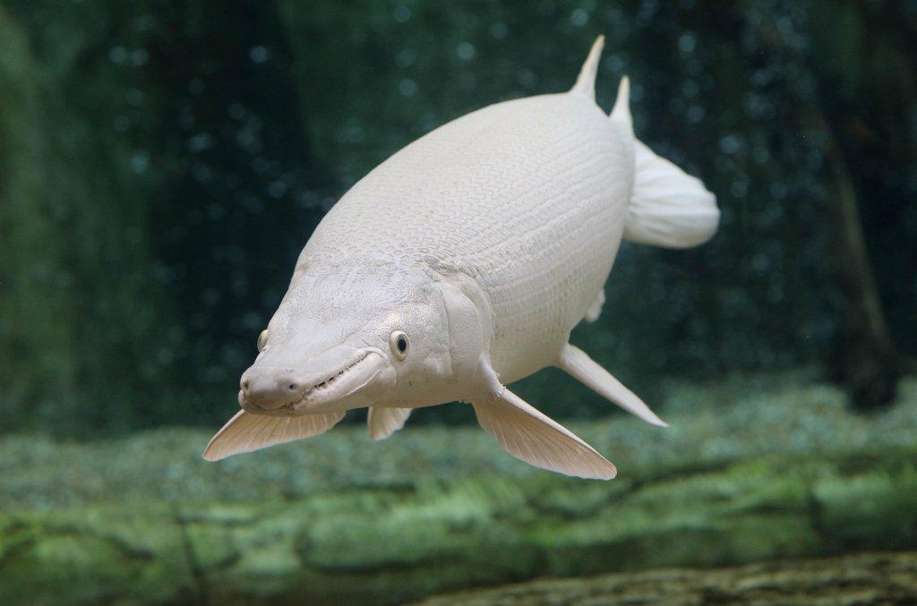 Cá sấu hỏa tiễn bạch tạng